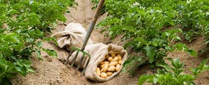 Close up of a sack of potatoes nestled in the furrow of a green field of potato vines in Idaho.